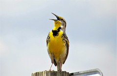 Morning Song (Patricia Henschen) Tags: chatfieldstatepark colorado westernmeadowlark chatfieldreservoir chatfield bird birds littleton songbird