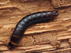Black predator (Tamás Németh) Tags: stenagostus rhombeus