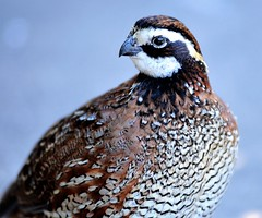 Portrait (forestforthetress) Tags: nature animal bird feathers color outdoor omot nikon animalplanet eyes