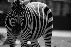 The illusionist (Giulia Gasparoni) Tags: illusionist illusion zebra zebras equine equines stripe stripes beautiful amazing awesome nature wild wildness wildanimal wildanimals black white blackwhite blackandwhite monochrome retro old photography