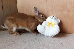 Ichigo san 656 (Ichigo Miyama) Tags: いちごさん。うさぎ ichigo san rabbit bunny netherland dwarf brown ネザーランドドワーフ ペット いちご うさぎ