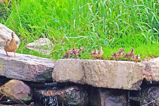 Mallard and 9 Ducklings 15-0526-3778