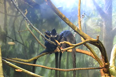 White Cheeked Gibbons, Lincoln Park Zoo (kaysha54) Tags: chicago lincolnparkzoo whitecheekedgibbon