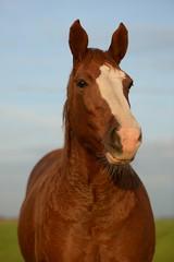Paard (A3impressies) Tags: horse weiland paard agrarisch buitenleven