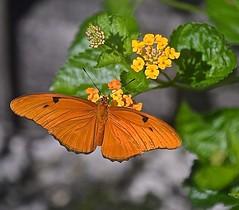 Dryas iulia On Lantana (ACEZandEIGHTZ) Tags: orange plant macro butterfly nikon bokeh outdoor lantana macrophotography flambeau dryasiulia juliabutterfly juliaheliconian theflame d3200 brushfootedbutterfly mariposanaranja