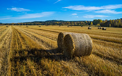 Harvest Time (diHib) Tags: blue autumn sky color colour green fall nature field yellow landscape europe sweden outdoor farm farming scandinavia oats dalarna oat agricultural flowersplants northerneurope dalecarlia