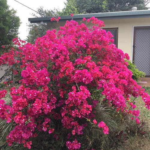 Madelin's #bougainvillea. #pink #flowers #atherton #fnq
