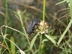 Bladsprietkever (Frank Berbers) Tags: insect beetle frankrijk kfer kever coleoptera scarabbeetle ardche scarabaeidae blatthornkfer bladsprietkever