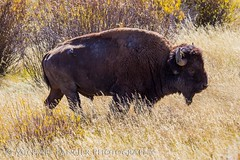 American Buffalo (Michael Pancier Photography) Tags: nature us buffalo unitedstates wildlife jackson wyoming nationalparks bison americathebeautiful jacksonhole fineartphotography naturephotography grandtetonnationalpark americansouthwest travelphotography commercialphotography naturephotographer editorialphotography michaelpancier michaelpancierphotography landscapephotographer fineartphotographer nationalparkphotography michaelapancier americasnationalparks wwwmichaelpancierphotographycom fallinthenationalparks