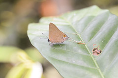 Deudorix staudinger (Green Baron Pro) Tags: butterfly singapore lycaenidae newrecord lycaeninae 201202