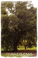 Quercus ilex 'Holm Oak' (farmer dodds) Tags: tree oak royalbotanicgardenedinburgh holmoak quercusilex fagaceae quercusilexholmoak