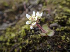 Stern-Steinbrech (Saxifraga stellaris) - Laugavegur - Trekking auf Island