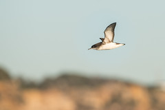 Fluttering Shearwater, Sydney-2363 (Henry.Cook) Tags: sydney shearwater seabird fluttering pelagic puffinus puffinusgavia