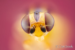 Fly (Karlgoro1) Tags: color macro eye field animal closeup canon bug insect eos fly photo eyes focus head stack 7d depth f28 stacker mpe 65mm zerene macrolife