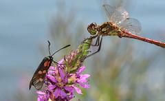 Frhe Heidelibelle, Sympetrum fonscolombii (staretschek) Tags: sympetrumfonscolombii frheheidelibelle segellibelle rotelibelle groslibelle