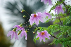 コダチダリア/Dahlia imperialis (nobuflickr) Tags: flower nature japan kyoto 日本 花 treedahlia thekyotobotanicalgarden dahliaimperialis 京都府立植物園 コダチダリア awesomeblossoms キク科ダリア属 20151125dsc02506