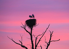 IMG_6942 a pink sunset and a dead tree -  ON EXPLORE # 127 (pinktigger) Tags: pink sunset italy bird nature animal italia nest outdoor stork cegonha cigea friuli storch ooievaar fagagna cicogne cicogna oasideiquadris feagne