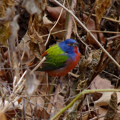 Painted Bunting at Prospect Park