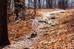 Yellow lab going down the trail to catch up with her mommy! (F.P Photo) Tags: dog puppy lab labrador yellowlab hiking hike retriever trail labradorretriever traildog labpuppy
