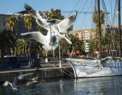 Battle of the Seagulls (stopdead2012) Tags: barcelona seagulls water birds fight spain wildlife flight