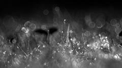 It's alive! (ursulamller900) Tags: itsalive diaplan28100 bw bokeh grass gras droplets macromondays