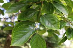 Diospyros kaki-07 (The Tree Library (TreeLib.ca)) Tags: diospyroskaki japanesepersimmon