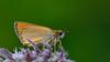 Thymelicus sylvestris (KOMSIS) Tags: kelebek butterfly schmetterlinge motyl motýlů motýlech motýl motýľ mariposa borboleta conbướm fjärilar fiðrildi féileacán farfalle perhonen päiväperhonen bábochka бабочка leptir vlinder kəpənək көбелек πεταλούδα лептир пеперутка animal animalia insecta lepidoptera hesperiidae thymelicus sylvestris small skipper sarı antenli zıpzıp insect outdoor serene landscape plant blossom purble green yellow texture pattern minimalism macro wildlife nature visipix ngc buzznbugz wow nikon nikondigital sigma 150mm os catchycolors colors colorful bright brilliant lighting バタフライ