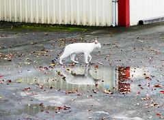 (YONA_K) Tags: cat rain day  white