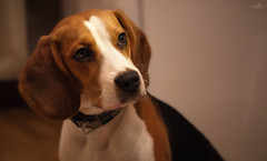 The curious look (VandenBerge Photography) Tags: beagle shiva puppy dog dof animal portrait closeup