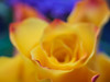 Lost in you (Karsten Gieselmann) Tags: blau blumen blüten bokeh dof em5markii farbe fujinon55mmf22 gelb mzuiko microfourthirds olympus rose rot schärfentiefe vintagelens blossom blue color flower kgiesel m43 mft red yellow