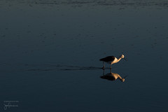 Laguna Chaxa - Fauna (josefrancisco.salgado) Tags: 70200mmf28gvrii atacamadesert chile d810a desiertodeatacama iiregióndeantofagasta lagunachaxa nikkor nikon provinciadeelloa reservanacionallosflamencos ave bird desert desierto fauna flamenco flamingo pájaro reflection reflejo salar saltflats cl