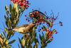 Cedar Waxwings (m e a n d e r i n g s) Tags: cedarwaxwing bombycillacedrorum california toyon