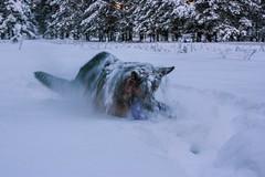 Шерлок купается в снегу