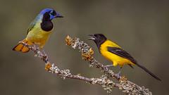 oriole and silent jay (Eric Gofreed) Tags: audubonsoriole greenjay texas texas12017 ngc npc