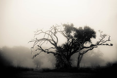 don't have to fear it (jeneksmith) Tags: canon tree trees oaktree fog foggy december dead death hurricanekatrina blackandwhite monochrome mysterious weather climate dark cold harsh winter creepy lucid nature natural