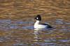 Goldeneye Drake (Prank F) Tags: titchmarshlnr wildlifetrust northantsuk nature wildlife bird water duck goldeneye drake male