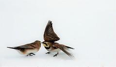 Political dispute (Jeannine St. Amour) Tags: bird hornedlark fight nature wildlife
