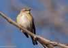 Winter Warbler (rdroniuk) Tags: birds smallbirds warblers passerines yellowrumpedwarbler dendroicapetechia oiseaux passereaux parulines parulineàcroupionjaune