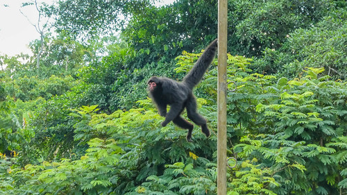 Red-faced spider monkeys