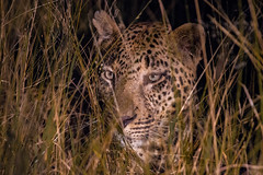 Patience - Nocturnal Predator (Hector16) Tags: robertmuckley 2012 southafrica malamala rattrays sabiepark mpumalanga za night predator afterdark