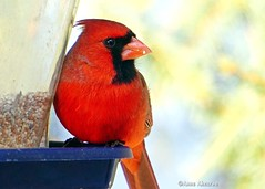 Northern Cardinal (--Anne--) Tags: bird birds feeder cardinal red northerncardinal animal wildlife nature