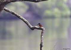 Azure Kingfisher at Worrell Creek (Greg Miles) Tags: azurekingfisher worrellcreek scottshead