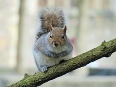 You looking at Me ? (seanwalsh4) Tags: 7dwf sundayfauna sean walsh bristol england squirrel greysquirrel nature nice happy cute funny