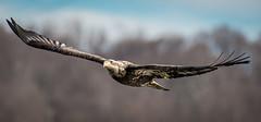 Juvenile Bald Eagle (Vic Zigmont) Tags: eagles birds juvenilebaldeagle raptor birdinflight eagleinflight baldeagle
