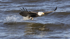 Bald Eagle (AmyBaker0902) Tags: bald eagle lock dam 14 mississippi river sigma 150600 canon 7d2