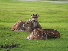 Fallow Deer Relaxing on Green Grass (publicdomainphotography) Tags: green brown female nature sunlight landscape wilderness background adult young beautiful tree park countryside field grass head male cute beauty fauna animal outdoor natural season forest meadow fur mammal wild deer wildlife watching herd ears fall autumn morning hunting spotted stag buck horns woodland antlers dama rut fawn doe fallow