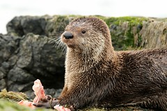 River Otter (Lontra canadensis)