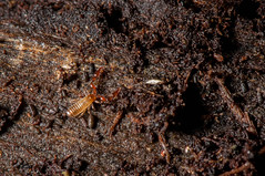 DSC_0500.jpg (hankplank) Tags: caribbean stkitts upperwingfield lesserantilles arachnida chelicerata pseudoscorpion pseudoscorpionida