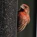 Finches – Family Fringillidae
