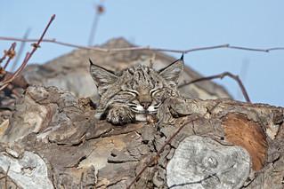 Juvenile Bobcat